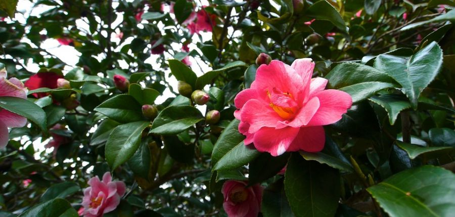 Camellias - and how to care for them