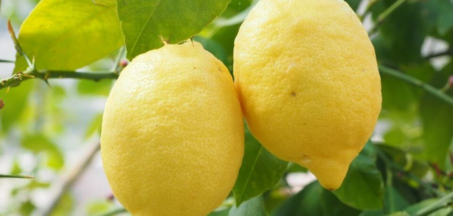 Growing Lemons and other citrus fruits
