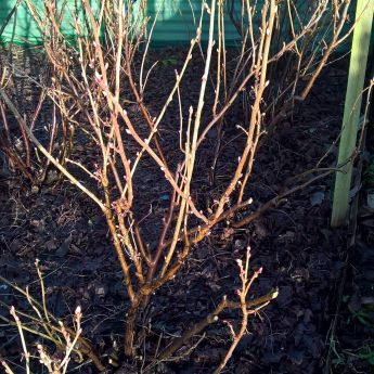 Pruning soft fruit bushes
