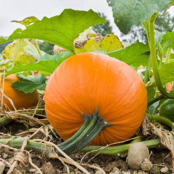 Growing Squash and Pumpkins