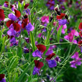 The joy of Sweet Peas