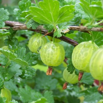 In praise of Gooseberries
