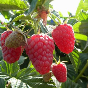 Two spectacular soft fruit plants - Loganberry and