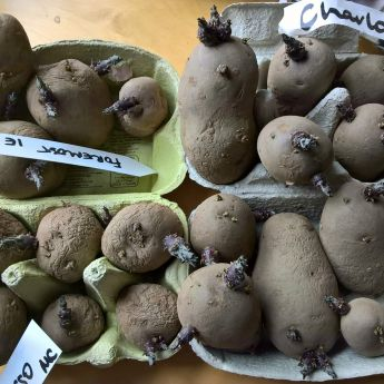 Plant your potatoes soon