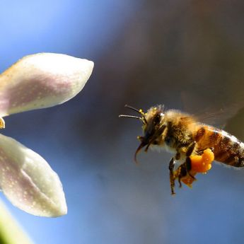 Honeybees in spring