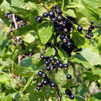 Blackcurrants: I'm a big fan