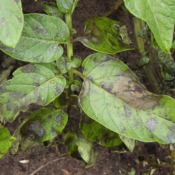 Blight - the dread of vegetable gardeners