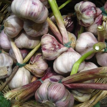 Garlic – varieties to plant in Autumn