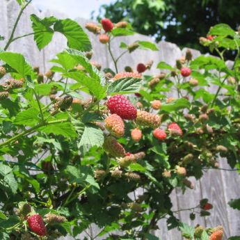 How to manage a Loganberry plant