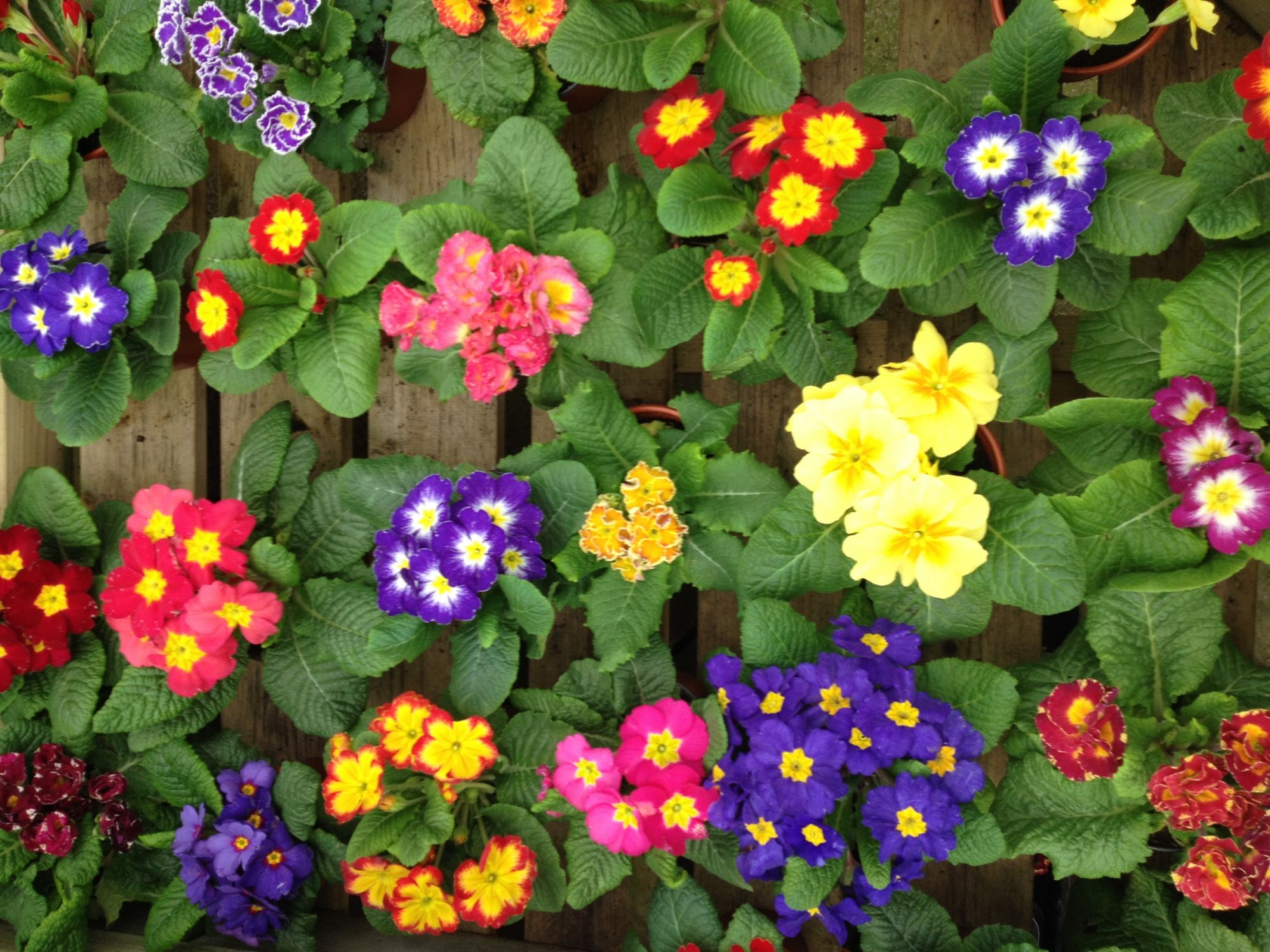 Cheery primroses at Riverside Garden Centre