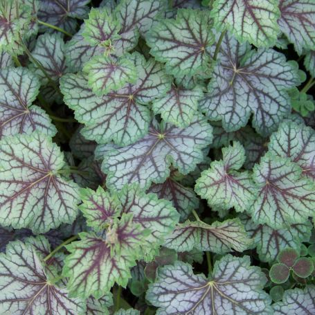 Heuchera 'Green Spice' main image