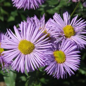 Erigeron 'Azure Beauty'