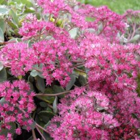 Sedum 'Rose Carpet'