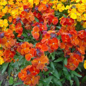 Wallflower 'Tall Varieties'