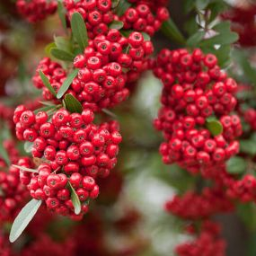 Pyracantha 'Mohave'