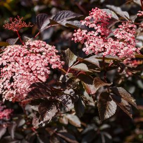 Sambucus 'Black Beauty'