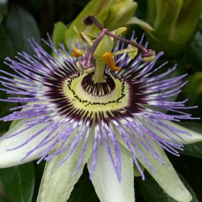 Passiflora 'Party Animal'