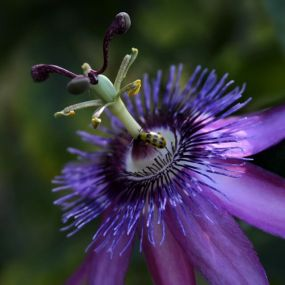Passiflora 'Star of Bristol'