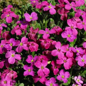 Aubrieta 'Axcent Deep Red'