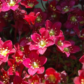Saxifraga 'Touran Deep Red'