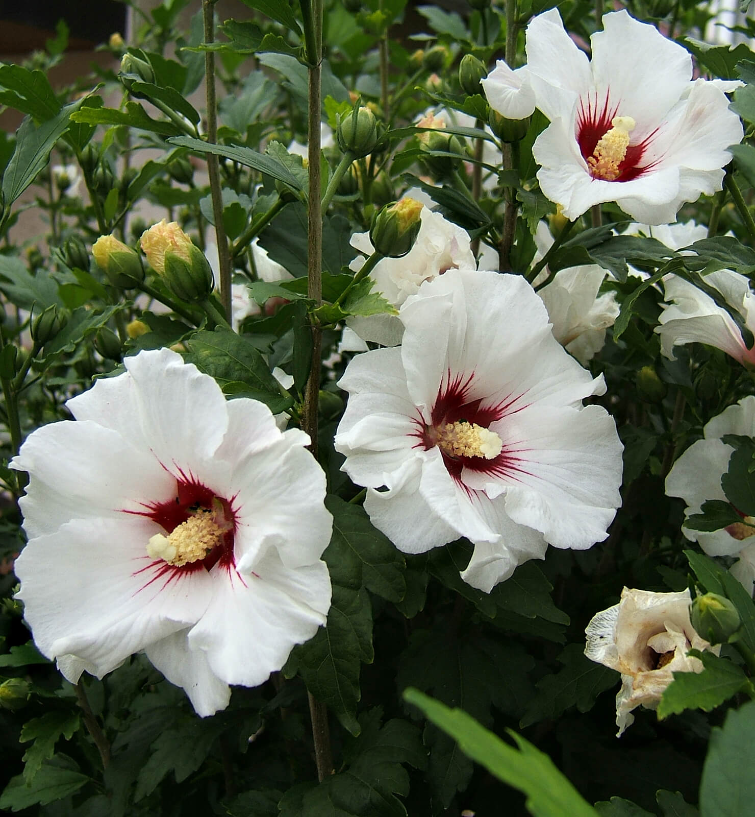 Picture of Live Rose of Sharon (wht/red) aka Hibiscus syr. 'Red Heart' Plant Fit 5 Gallon Pot